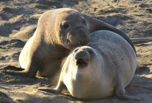 elephant-seals-mating-ano-nuevo-stat-reserve-california-ca