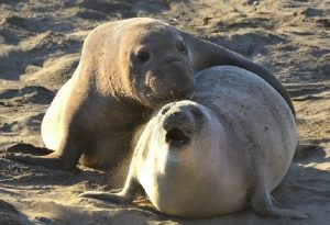 elephant-seals-mating-ano-nuevo-stat-reserve-california-ca
